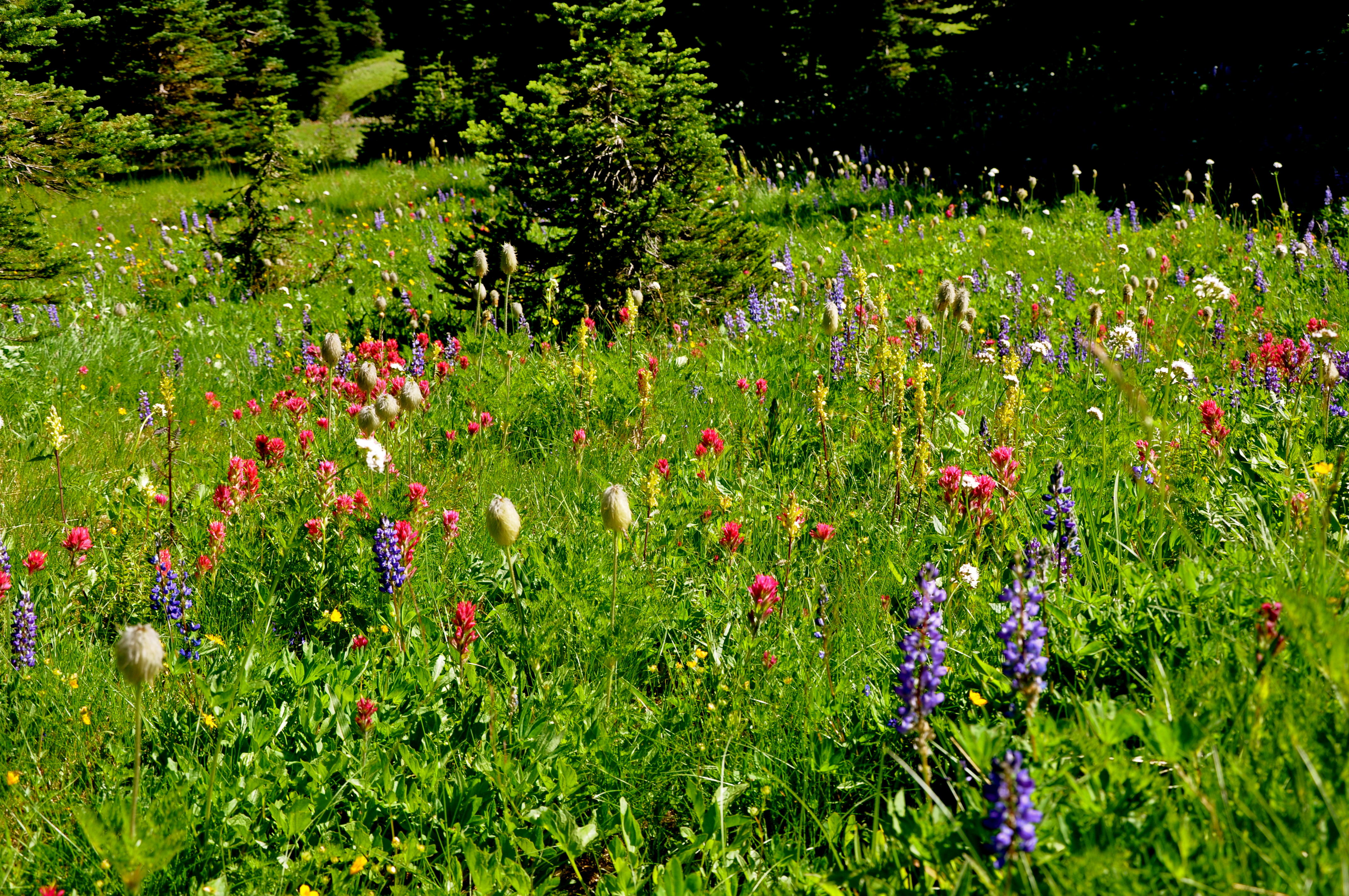 Flowers in Berkeley Meadows, Mt. Rainier National Park, WA. Life thrives even in rugged places, and so, too, in different ways, Love. Photo by William Bass on a solo dayhike, Friday 13 August 2010.