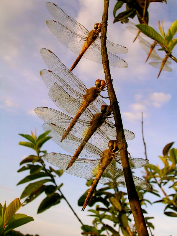 A real Dragonfly Community in Nature.